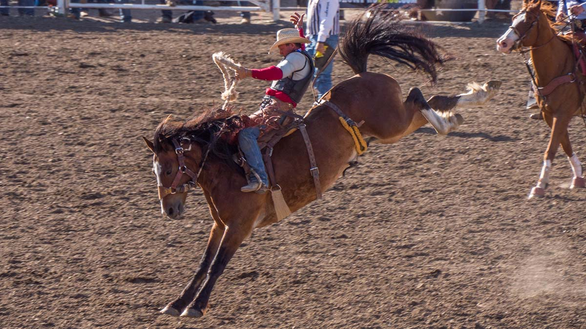 Saddle Bronc Riding in Cody/Yellowstone Country